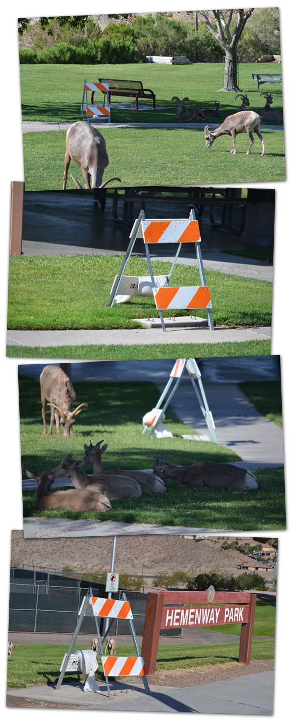 Bighorn Sheep Signs Coming to Hemenway Park in Boulder City, NV