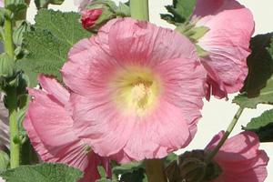 Hollyhock - Official Flower of Boulder City, NV