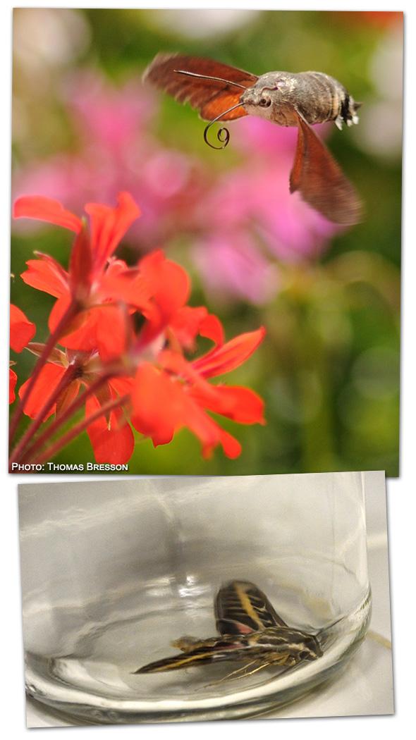 Hummingbird Moth - Photo by Thomas Bresson