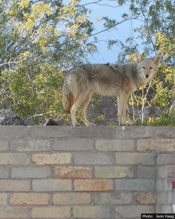 Fan Photo by Jenn Haag - Coyote in Boulder City, Nevada