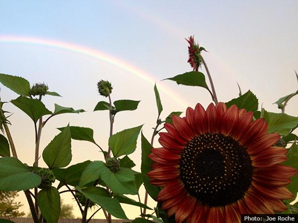 Fan Photo - Joe Roche Sunflower in Boulder City, NV