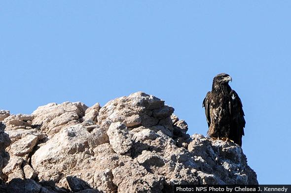 Bald Eagles on Lake Mead Near Boulder City, Nevada