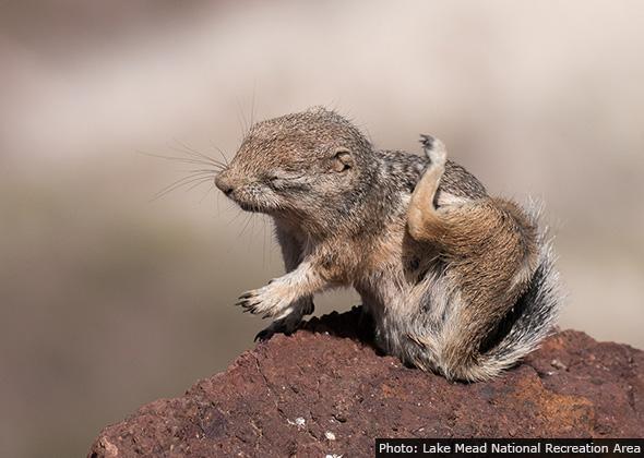 Anelope Ground Squirrel near Boulder City, Nevada