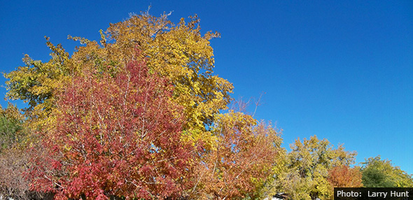 Fall Leaves in Boulder City, Nevada