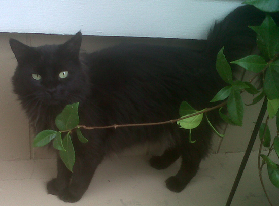 Lost Cat in Boulder City, NV