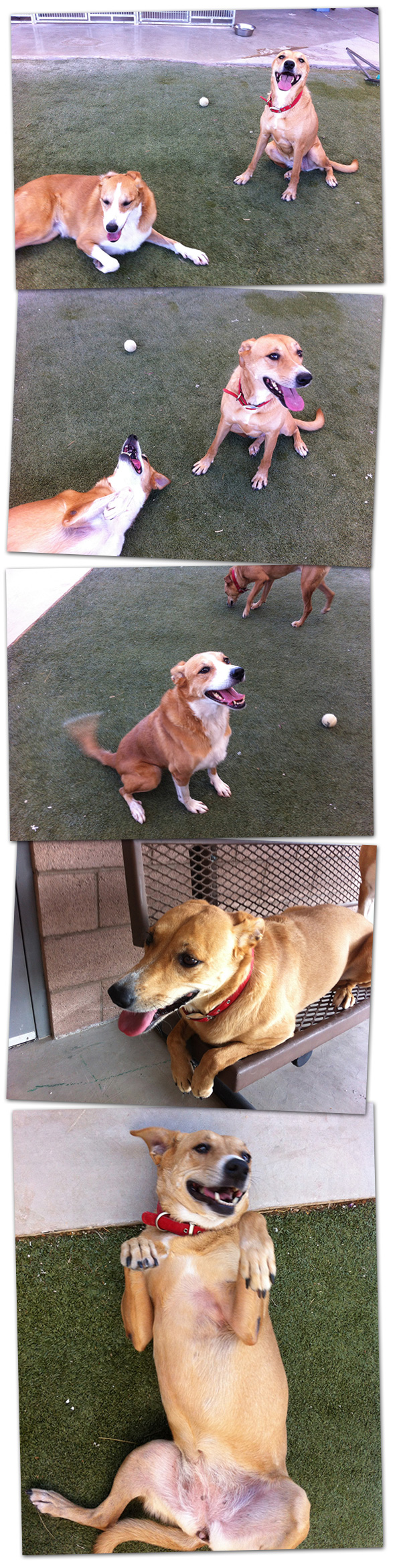 Dogs for Adoption in Boulder City, Nevada