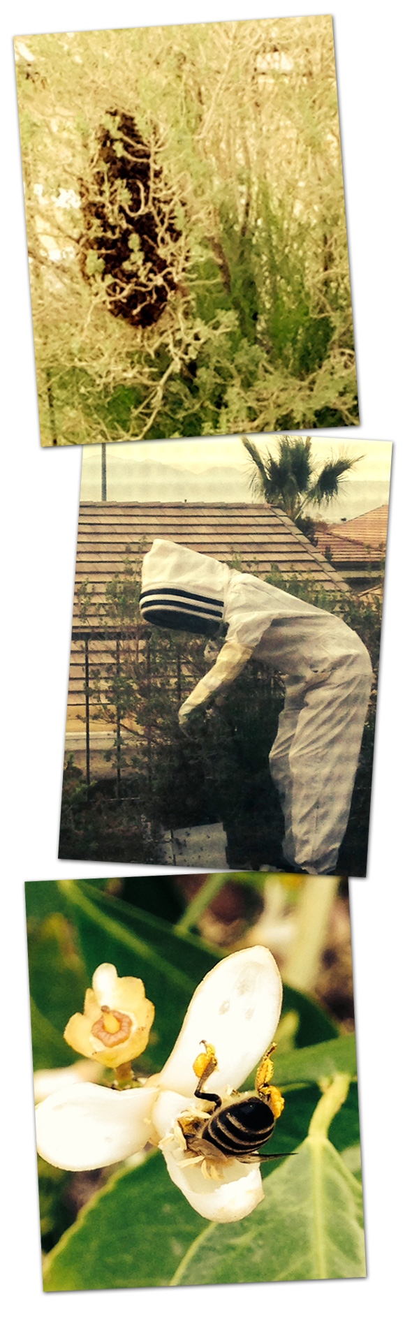 Bees in Boulder City, Nevada