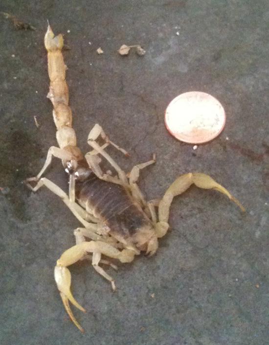 Giant Desert Hairy Scorpion in Boulder City, NV