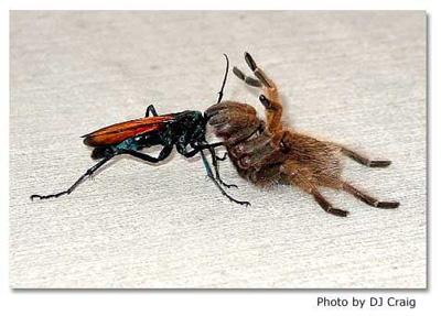 Tarantula Hawk Fight