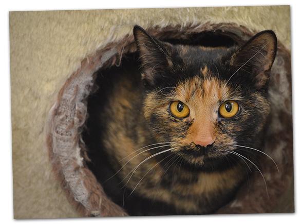 Tortoise Cat for Adoption in Boulder City, NV