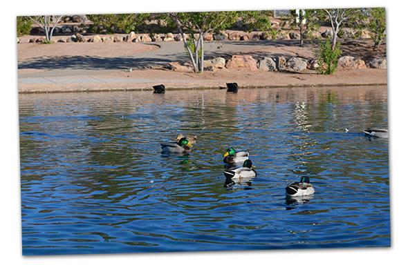 Ducks in Veterans Memorial Park Pond in Boulder City, Nevada