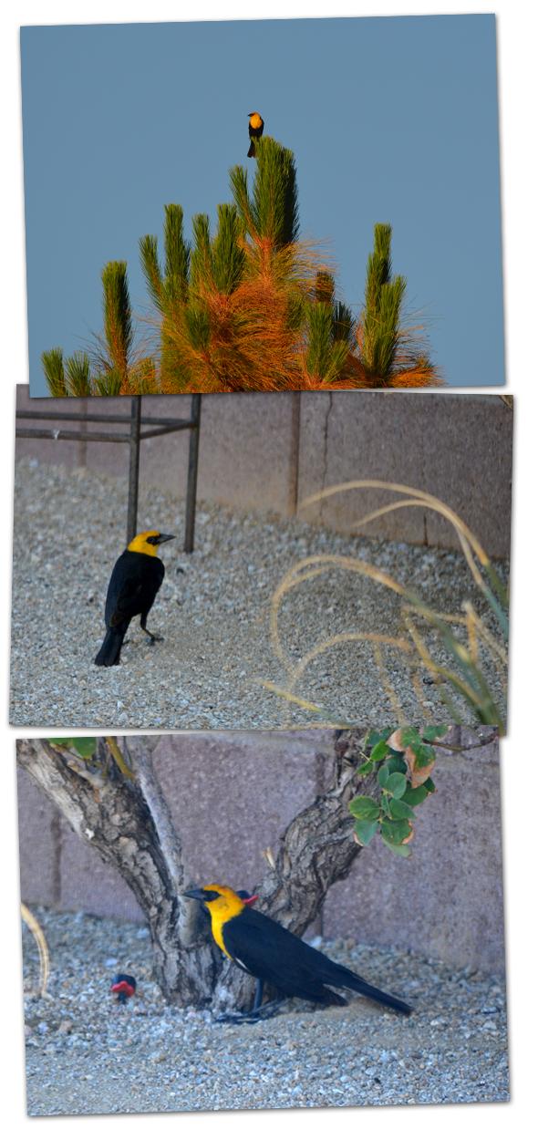 Yellow Blackbird in Boulder City, NV
